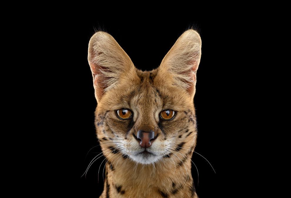 Сервал, или кустарниковая кошка