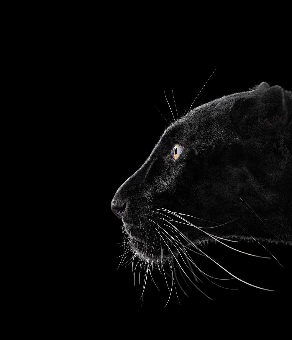 Черный леопард.