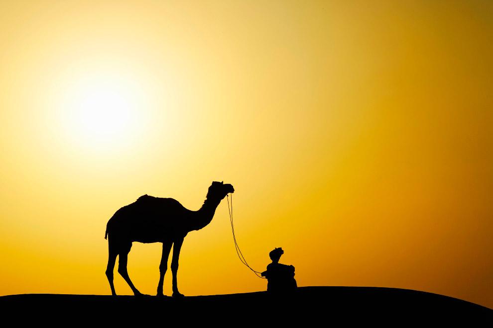 Верблюд в индийской пустыне