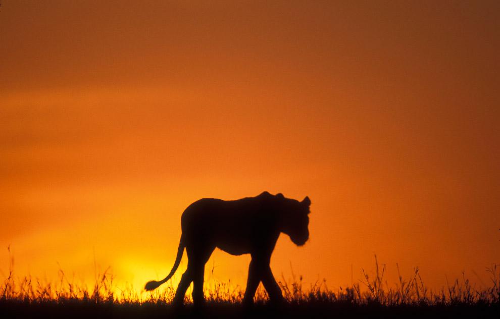 Силуэт льва в в Масаи Мара в Кении