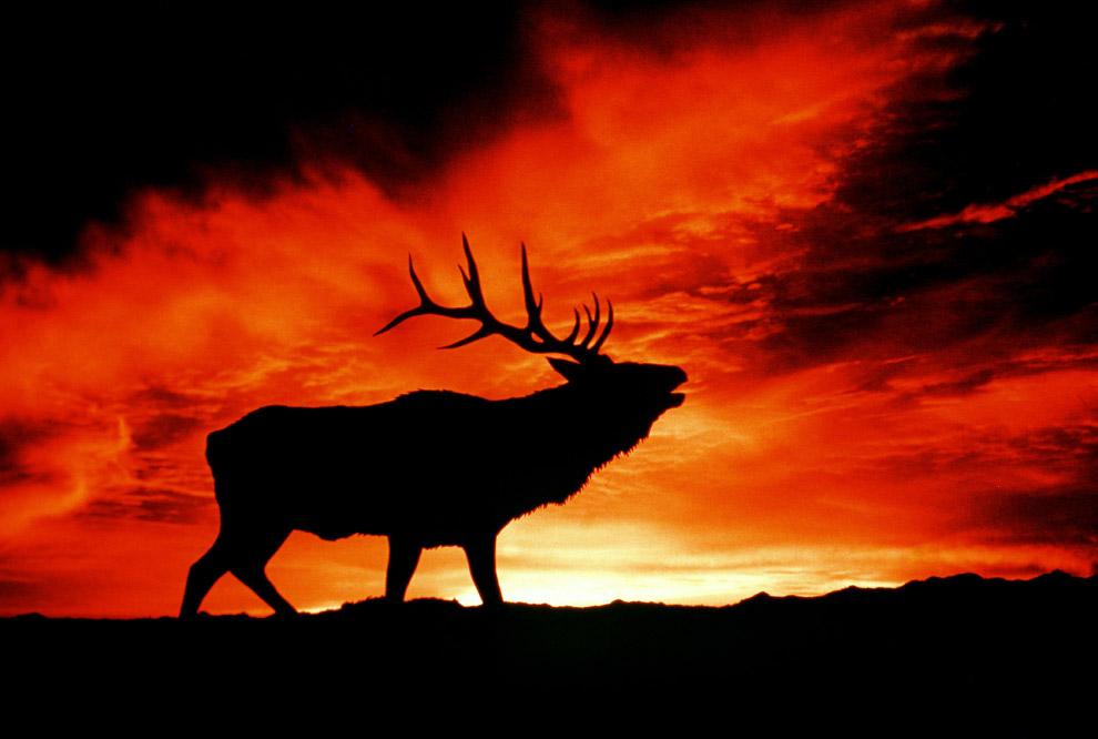 Американский лось на закате