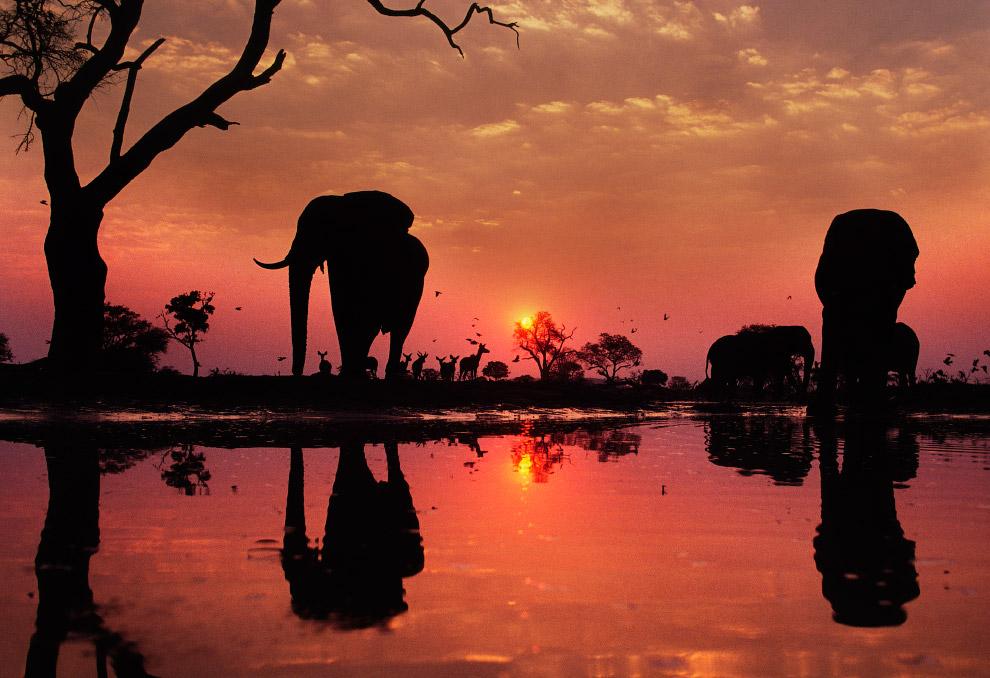 Африканские слоны на водопое на закате в Ботсване
