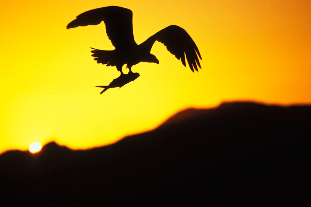 Лысый орел в полете с рыбой
