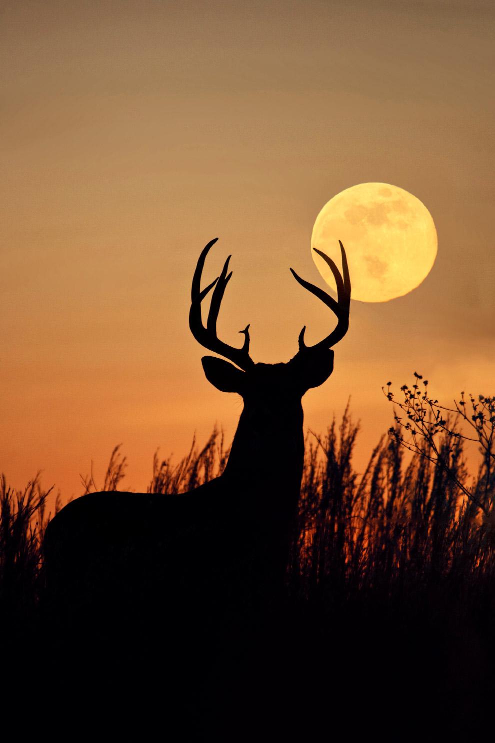 Олень и полная луна в штате Техас