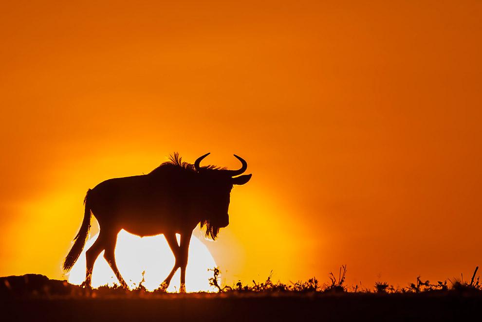 Антилопа гну в Кении, Африка