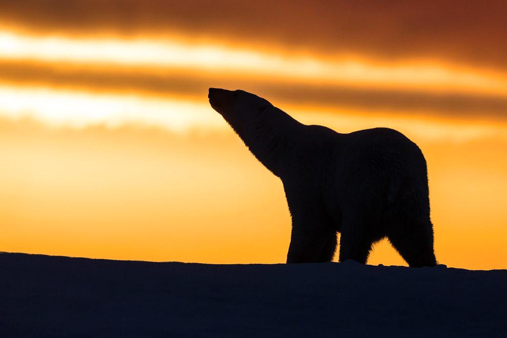 Белый медведь на Аляске