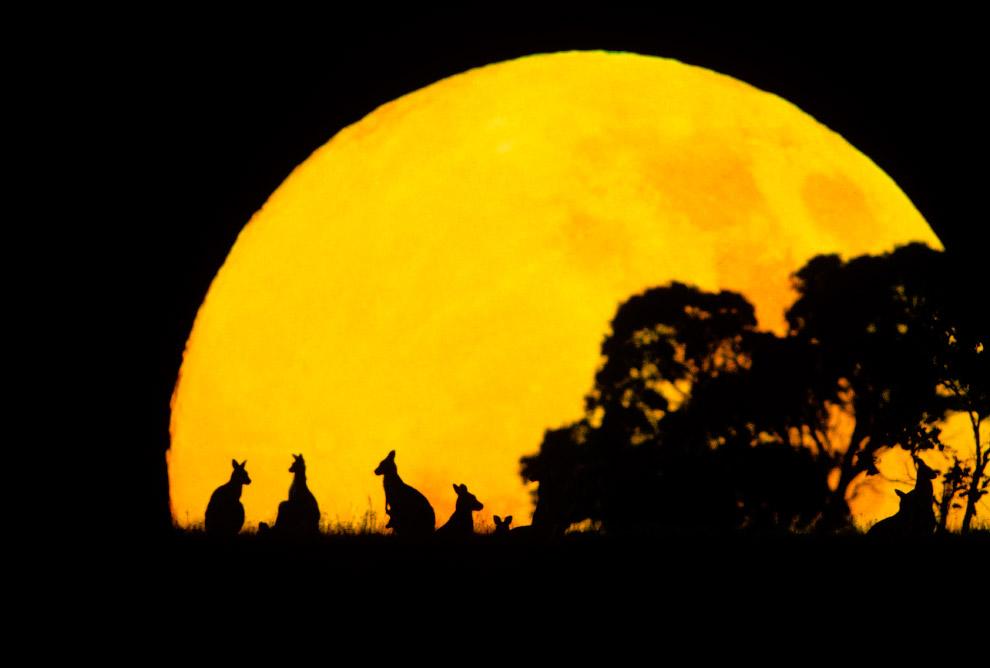 Силуэты кенгуру на фоне заходящего солнца