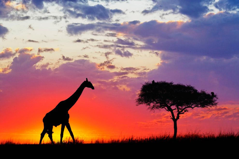 Силуэт жирафа в Масаи Мара, Кения, Африка