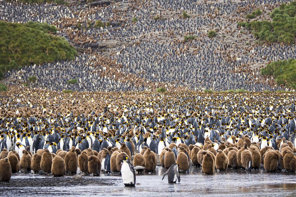 Колония пингвинов на Южной Георгии в Южной Атлантике