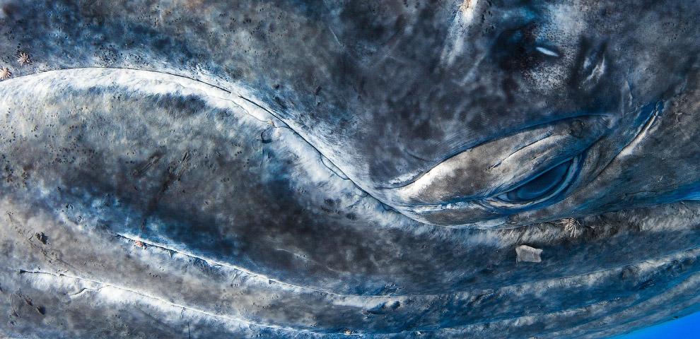 Горбатый кит вблизи, Французская Полинезия
