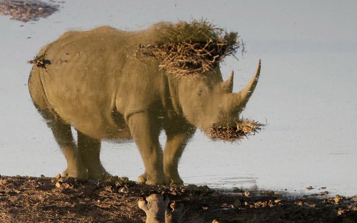 Отражение носорога на водопое в Африке
