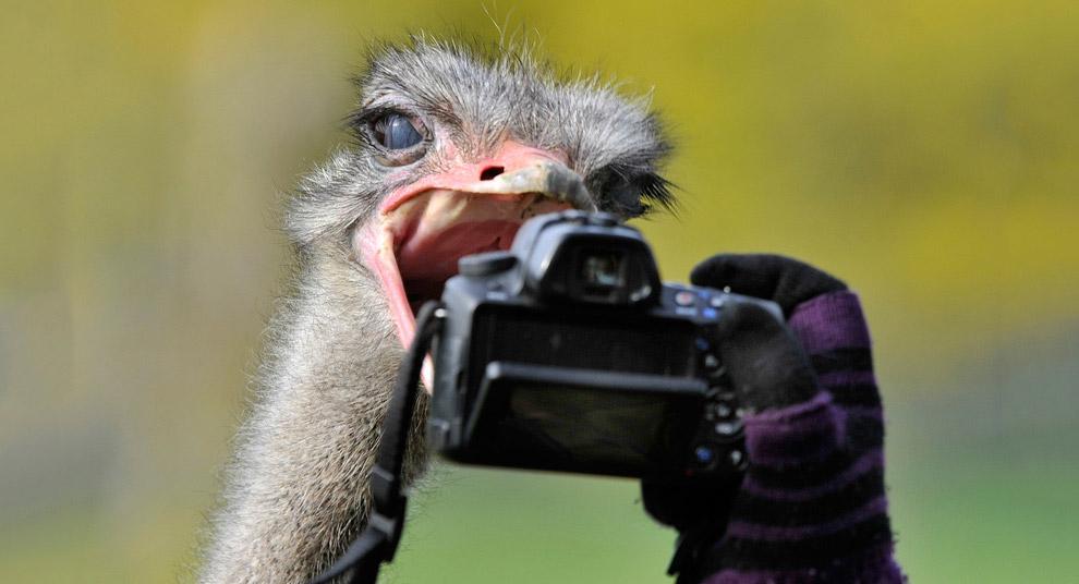 Снимок страуса с близкого расстояния