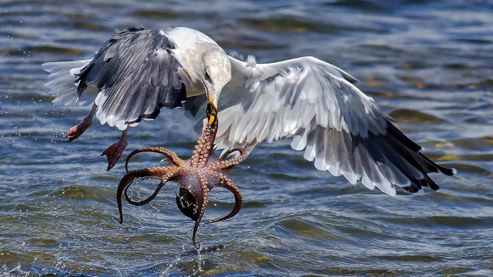 Голодная чайка пытается забрать с собой осьминога