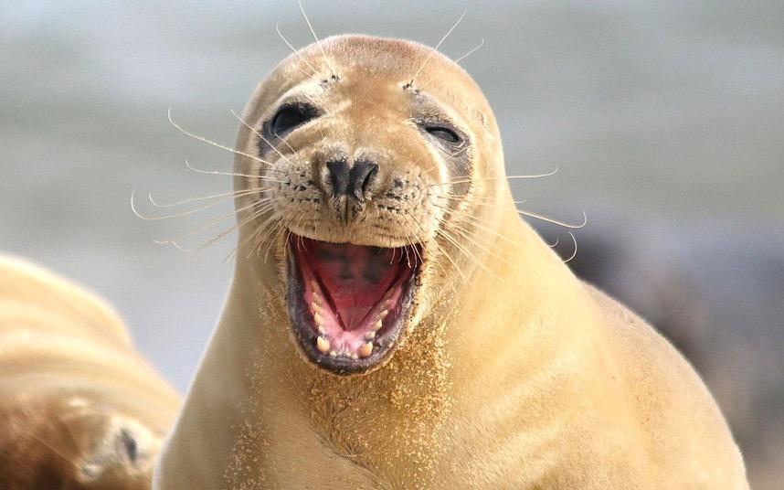 Счастливый тюлень в Норфолке, Нью-Йорк