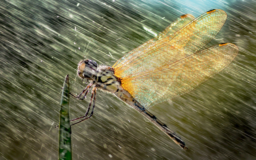 Стрекоза под дождем, Индонезия