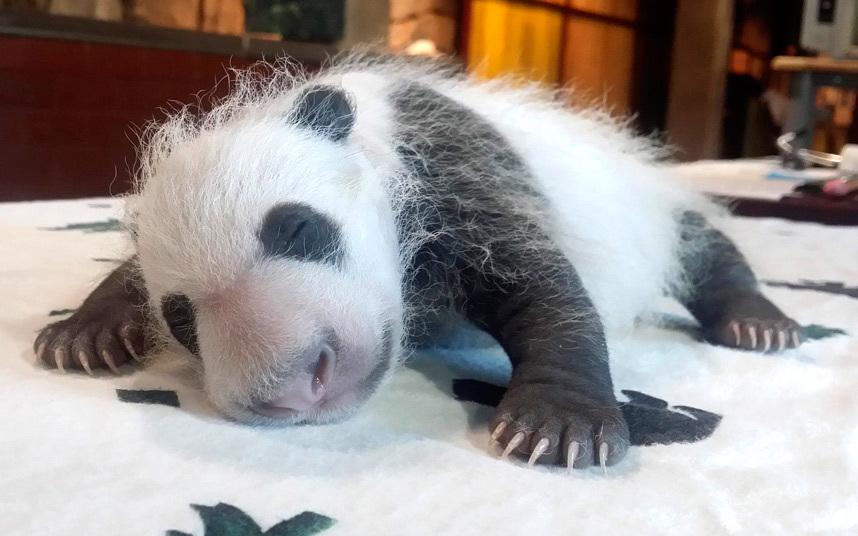 Маленькая большая панда в зоопарке в Вашингтоне