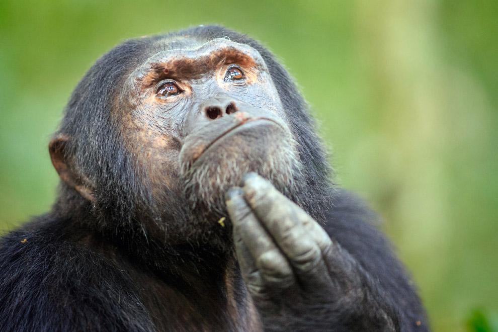 Шимпанзе в Уганде, Восточная Африка