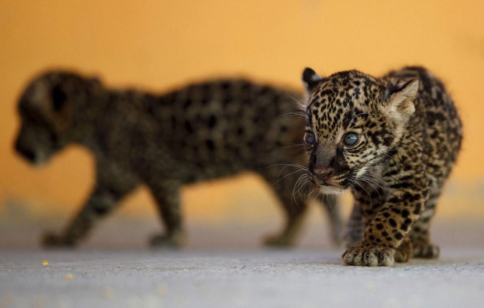 4-недельные ягуарчики в мексиканском зоопарке