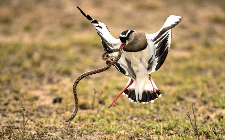 Змея решила полакомиться яйцами птицы, но получила решительный отпор