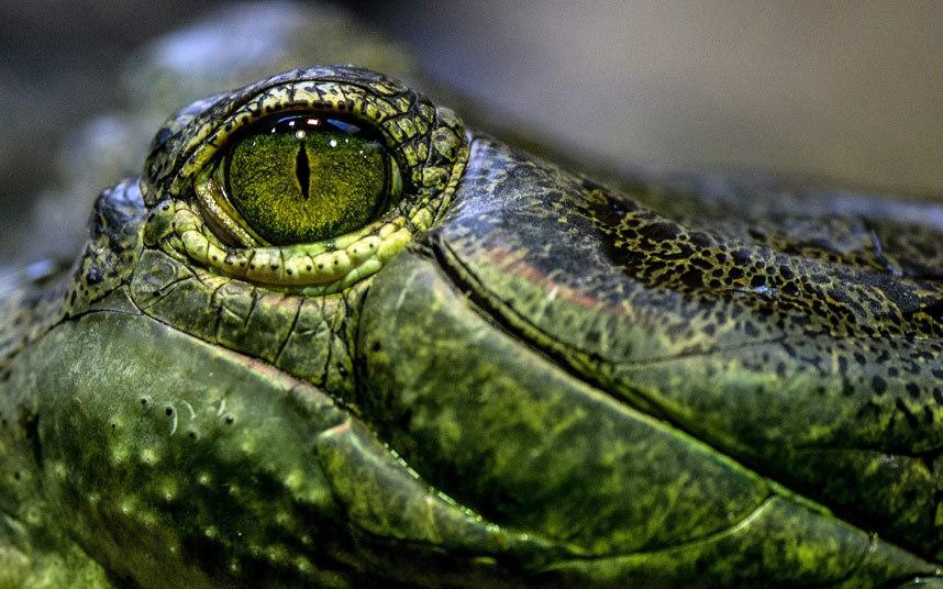 Это гангский гавиал — крупное пресмыкающееся отряда крокодилов