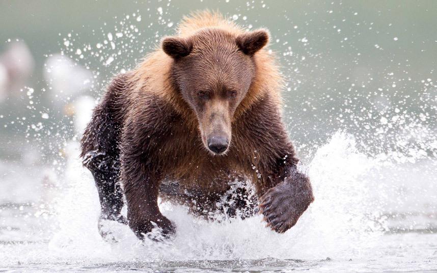 Медведь рыбачит на Аляске