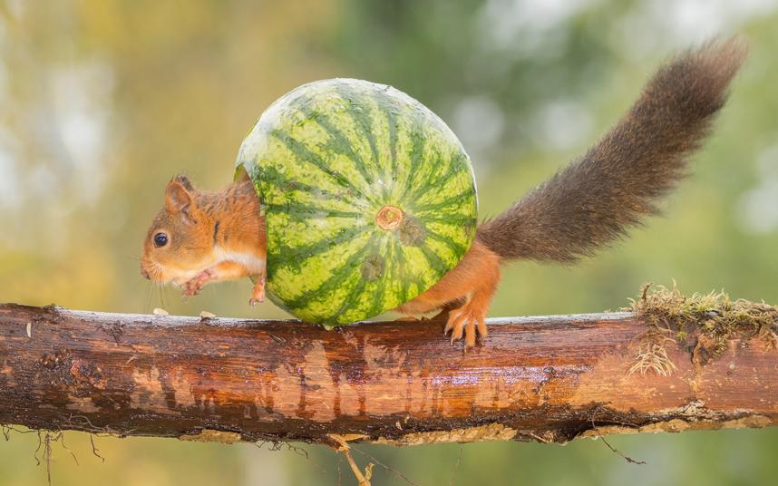 Озорная белка играет с арбузом