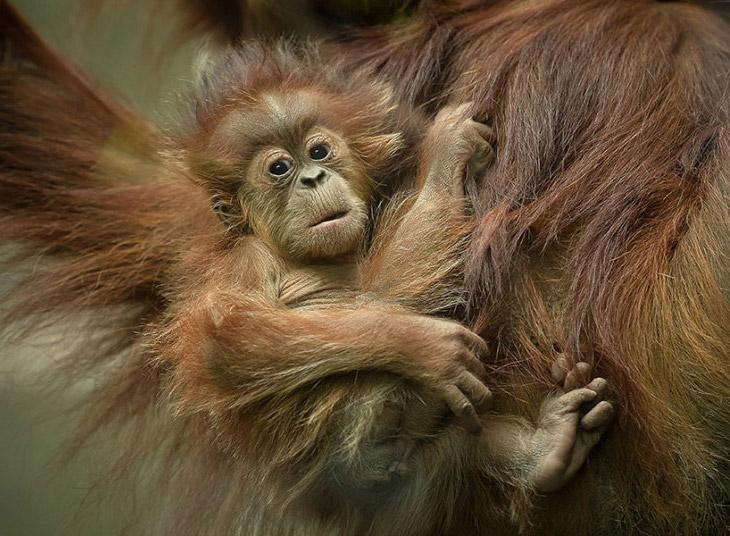 Орангутанги с Суматры