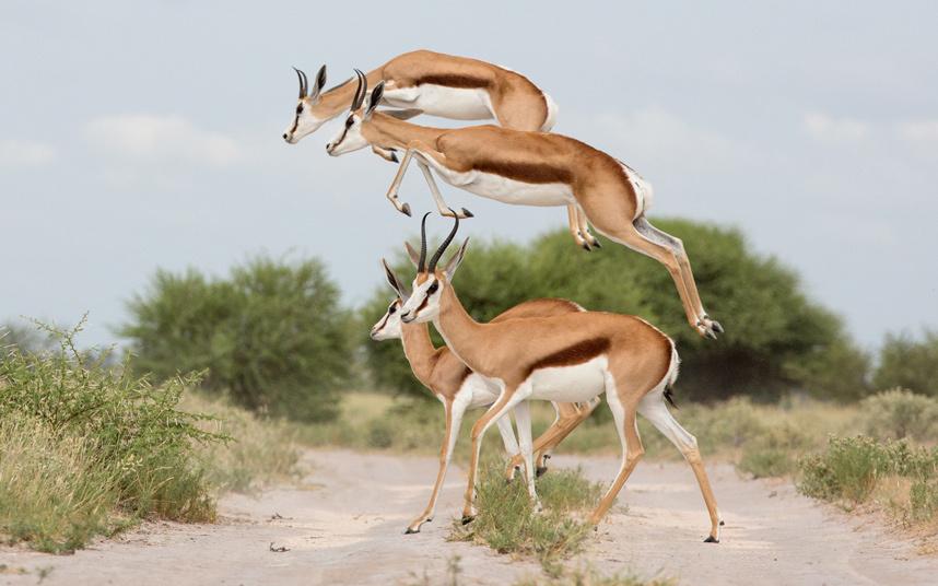 Газели в Ботсване