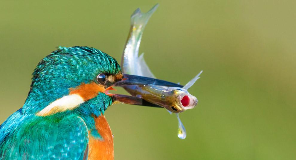 Зимородок поймал рыбу