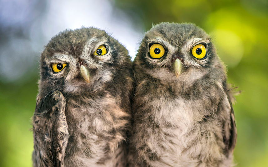 Annoying Owl Brother
