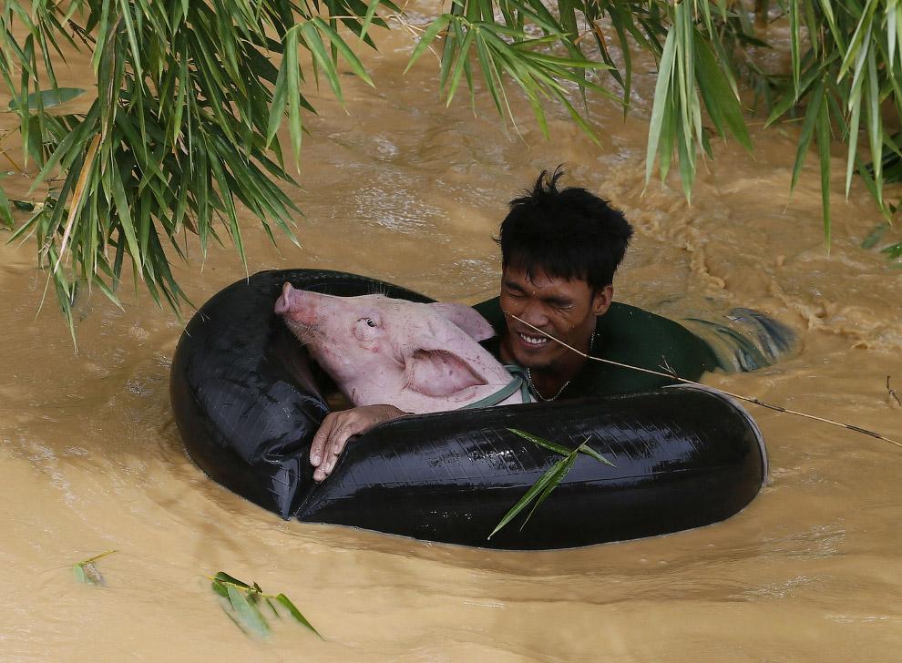 Хозяин перевозит свою свинюху на автомобильной шине в безлопастное место