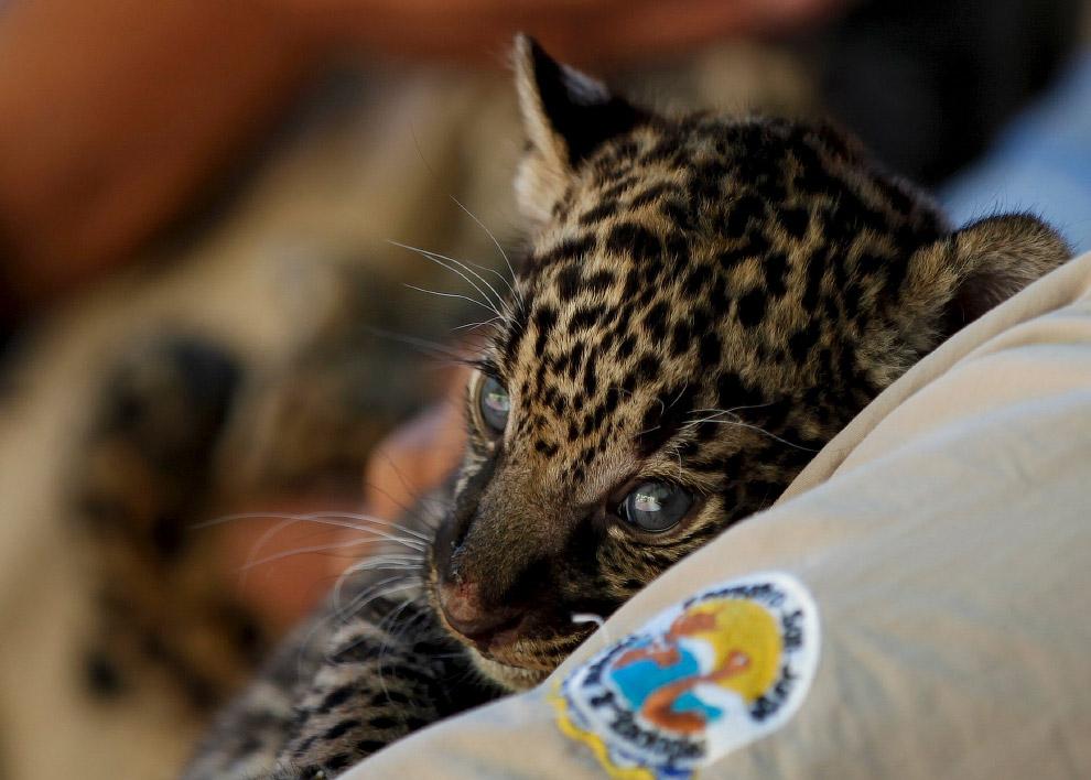 4-недельный ягуар в зоопарке в городе Сьюдад-Хуарес, Мексика