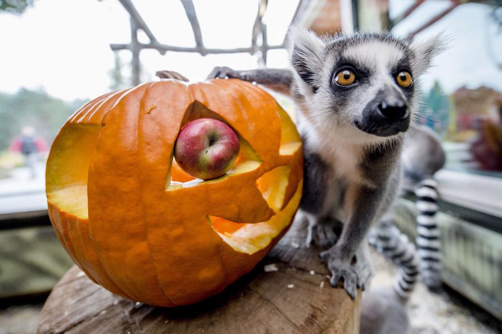 Лемуры готовятся  к Хэллоуину в зоопарке в Чехии
