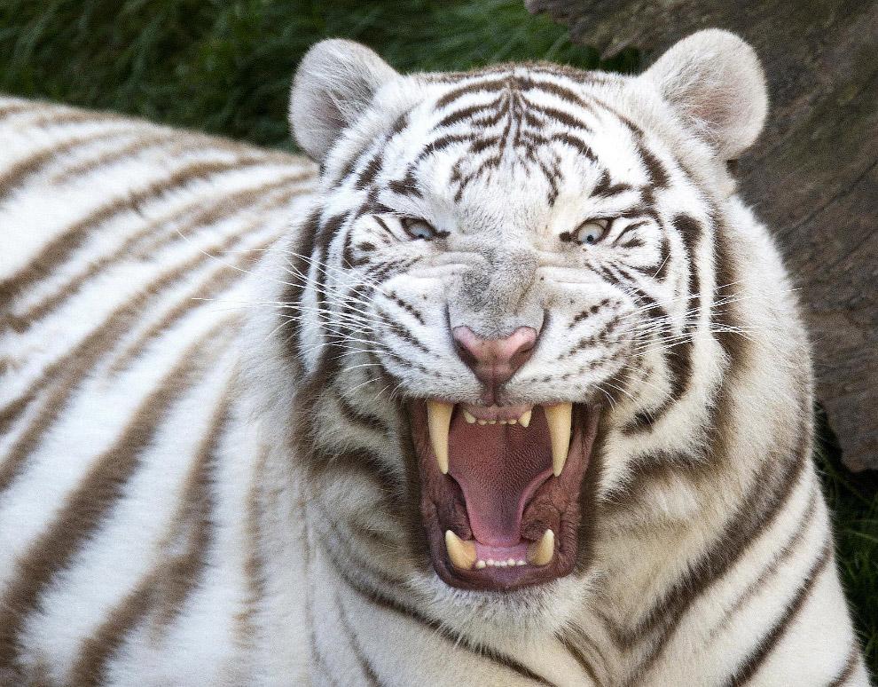 Белый бенгальский тигр, Бельгия