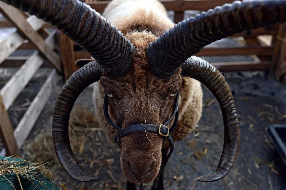 овца породы мэнский лохтан