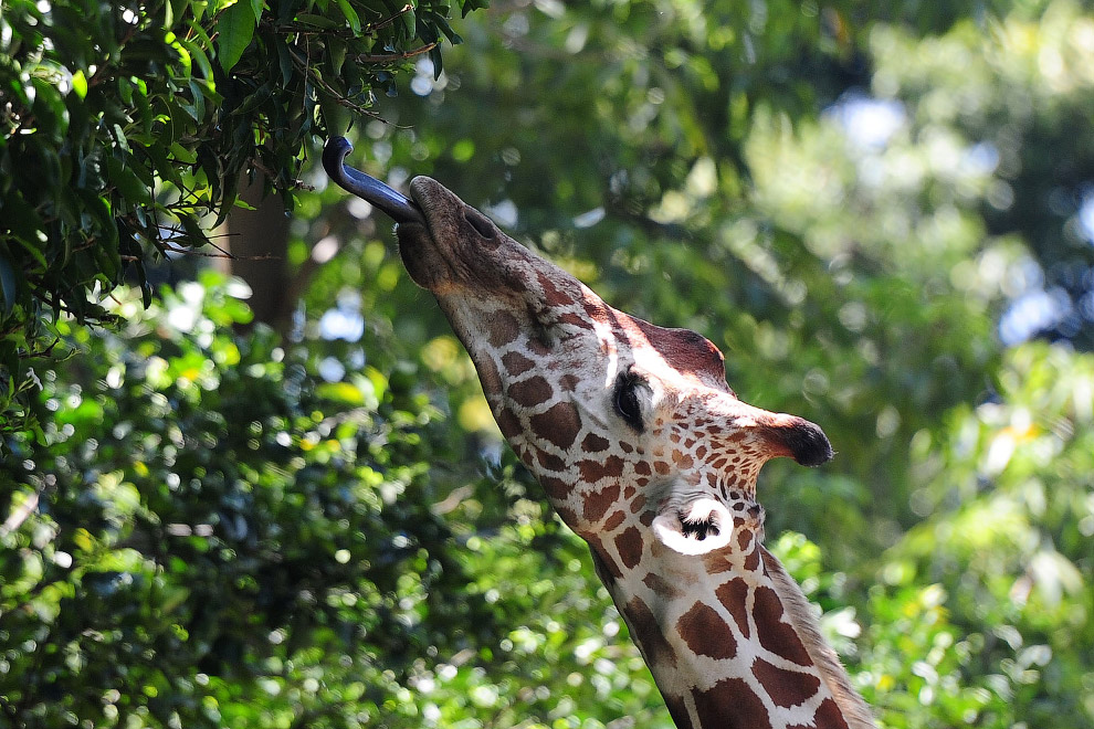 Жираф в зоопарке Шри-Ланки