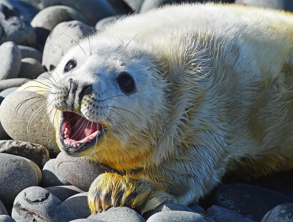 Новорожденный тюлень на островах Фарн