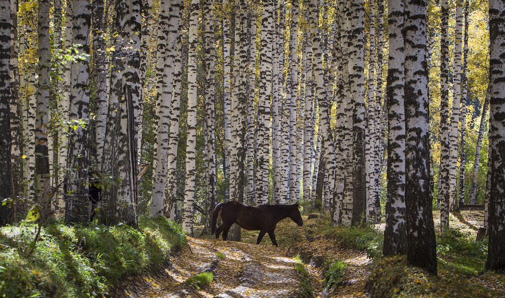 Березовый лес под Алматы, Казахстан