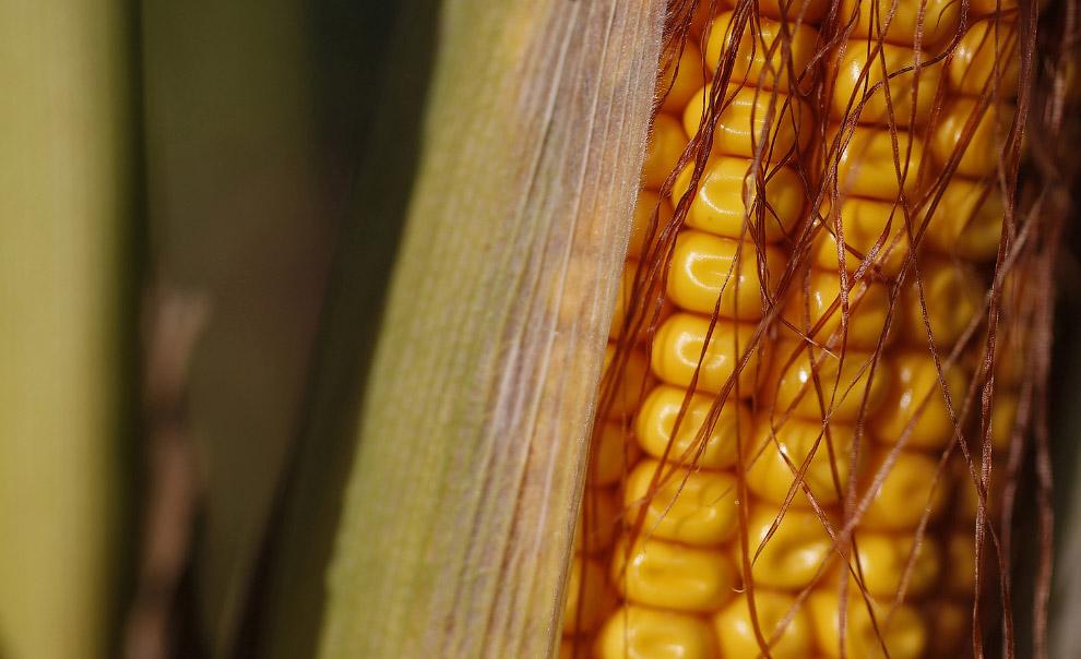 Кукуруза поспела. Страсбург, Франция