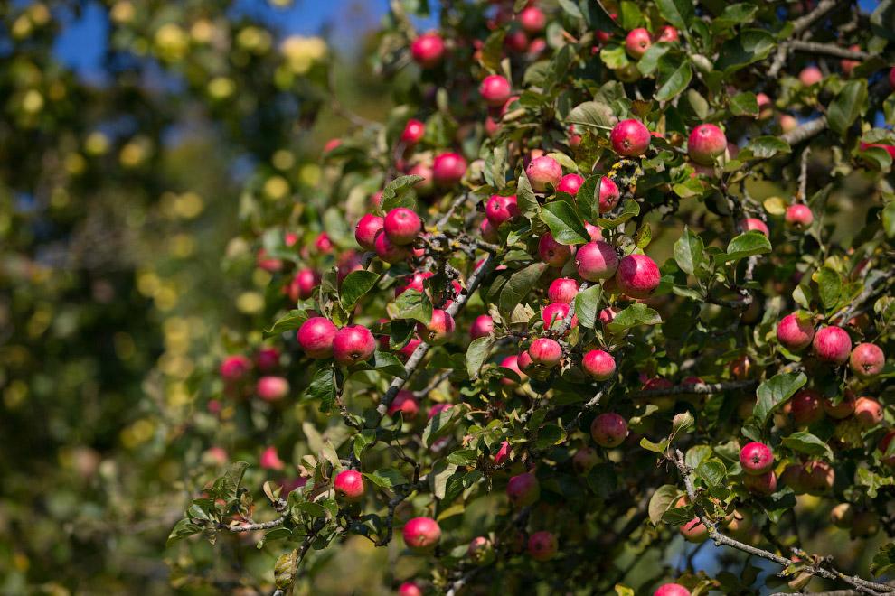 Урожай яблок в Сомерсете, Англия