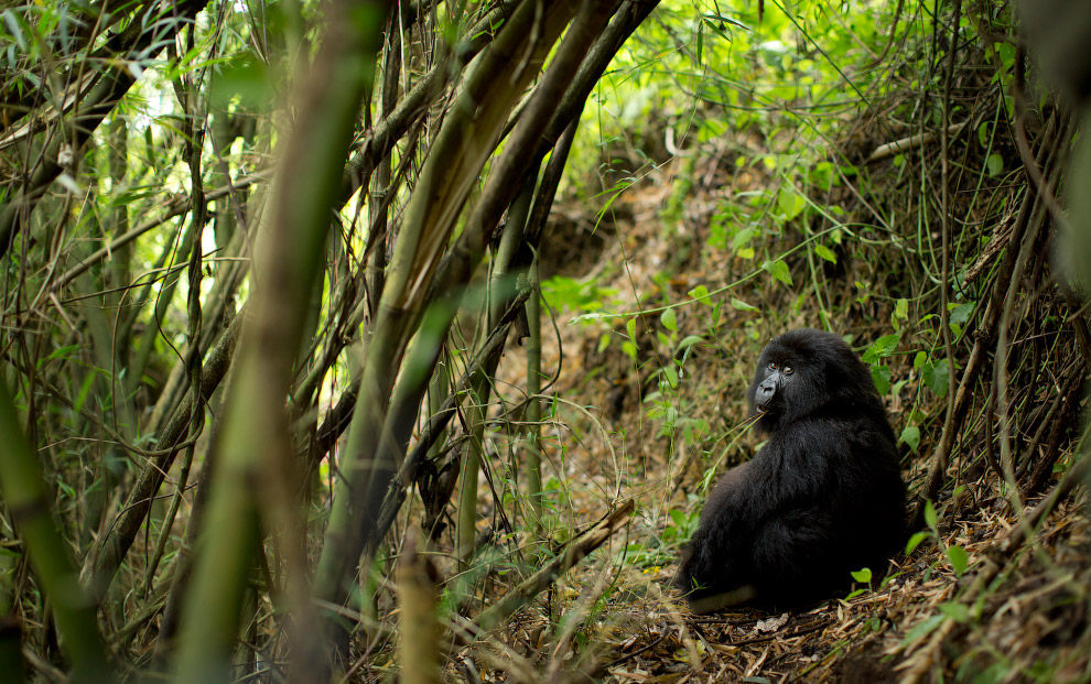 Черные горные гориллы
