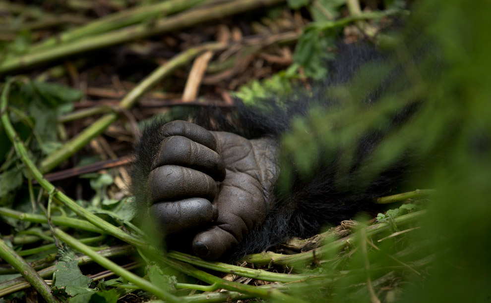 Рука горной гориллы