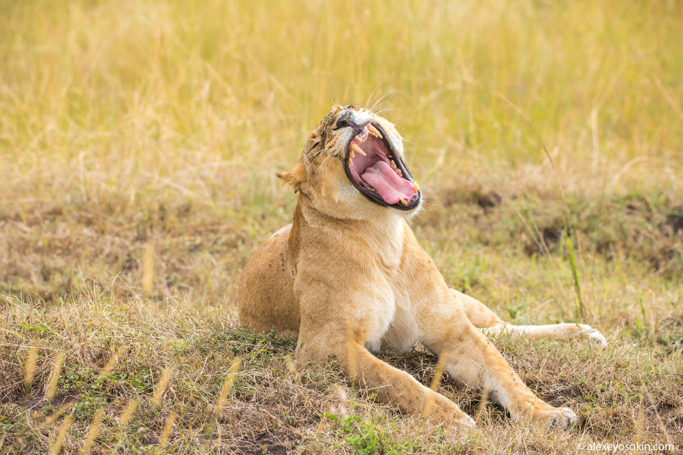 африка гиены фото