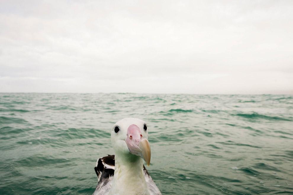 Любопытно альбатрос