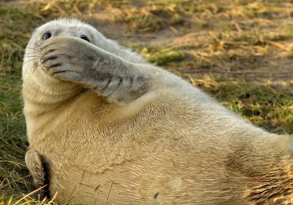 Смешливый тюлень