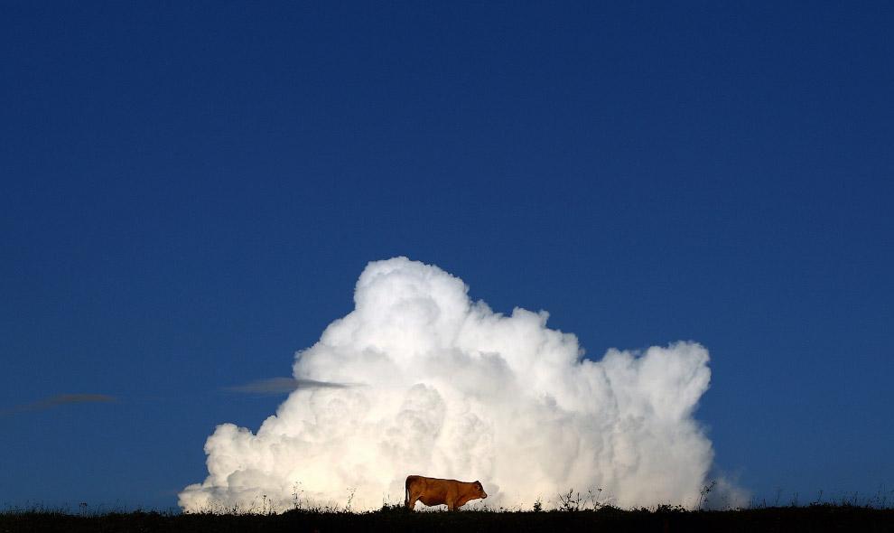 У коров хорошо развито чувство прекрасного, и они отлично умеют вписаться в красивый пейзаж
