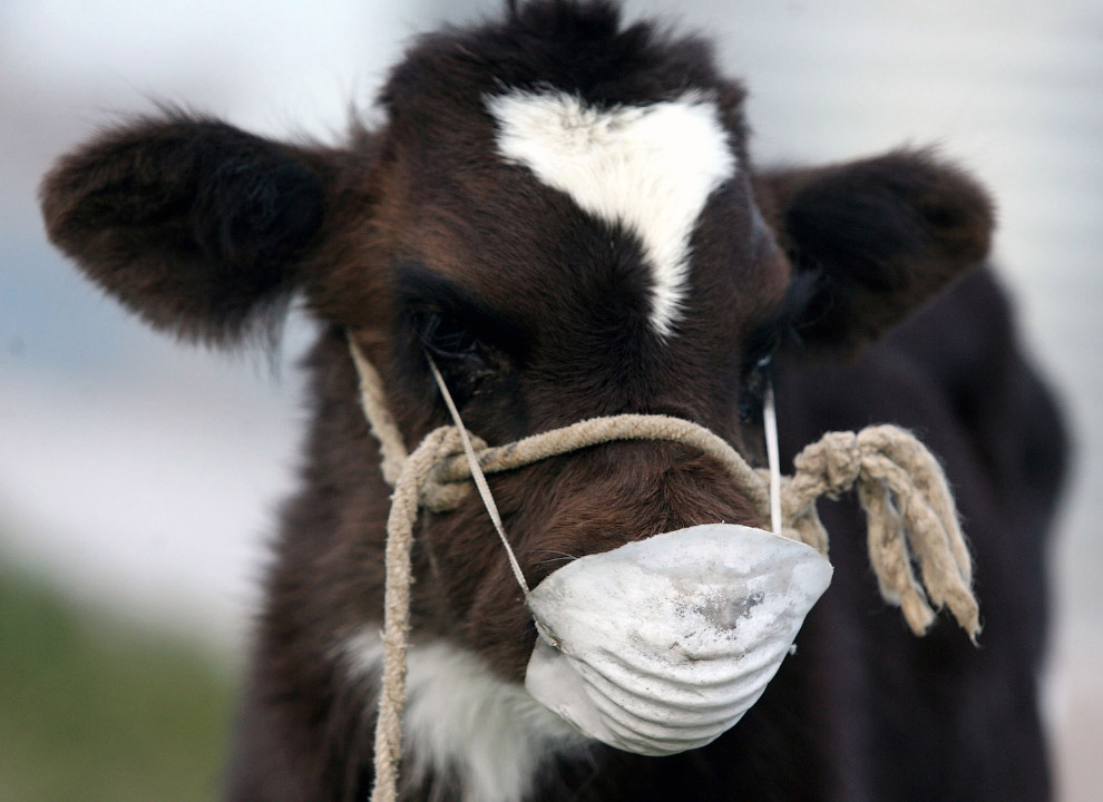 Коровы заботятся о своем здоровье и носят маски во время извержения вулканов