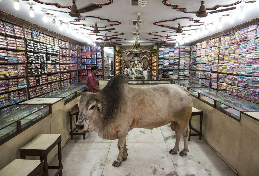 Коровы следят за модой и ходят в магазины одежды