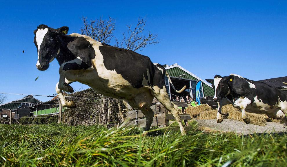 И снова Нидерланды, а это значит здесь живут коровы-спринтеры, носящиеся по полям галопом