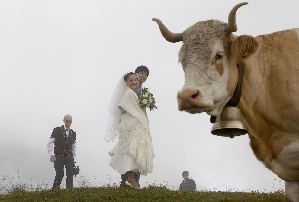 Коровы отлично смотрятся в свадебной фотографии